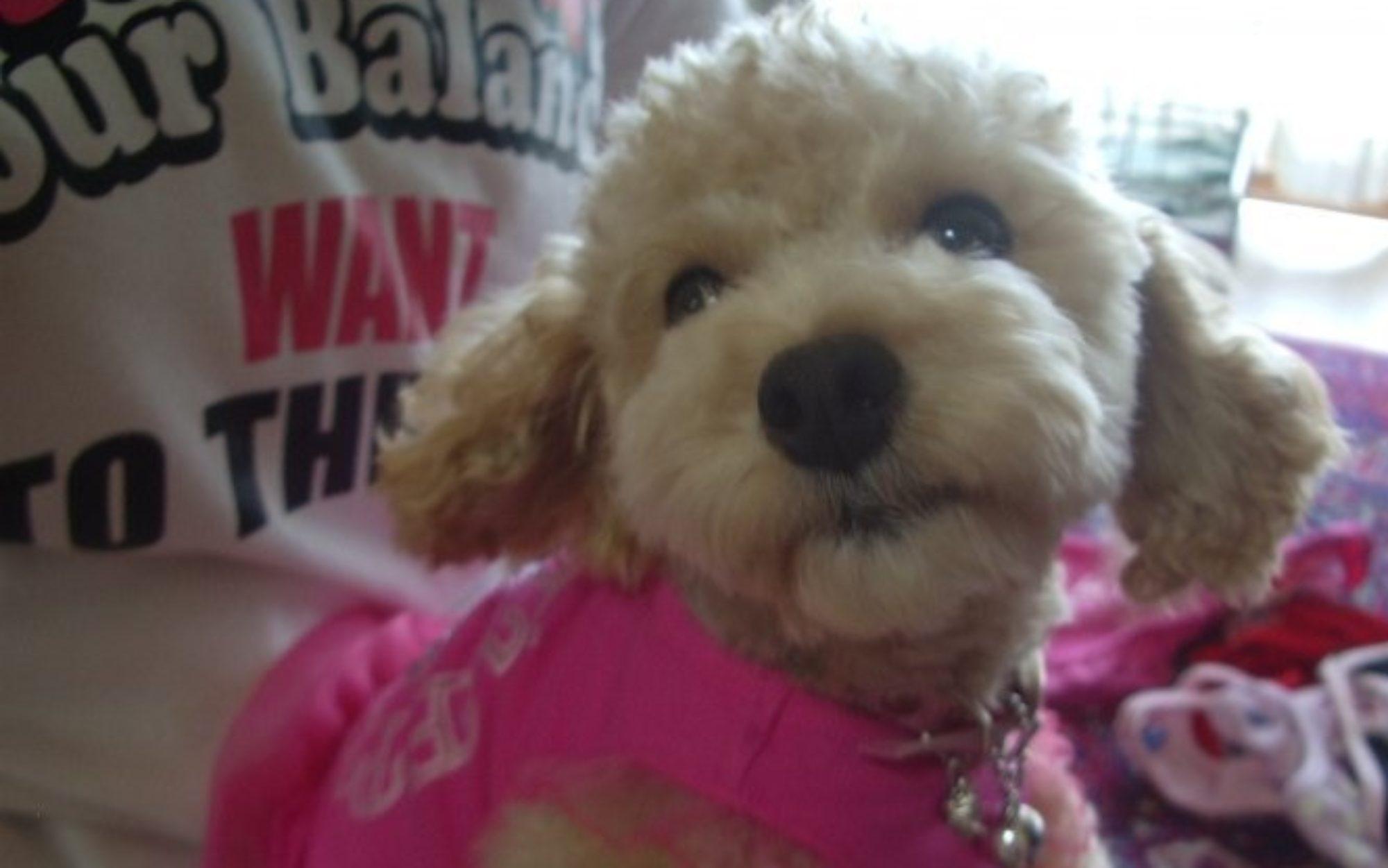 中部・東海で子犬をお探しなら【犬プルプルハウス】 柳生芳明ブリーダー直販